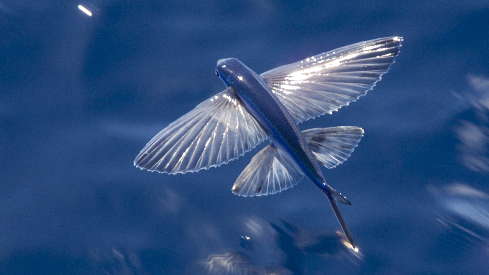 Nature: Flying Fish
