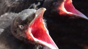 Baby_Crows