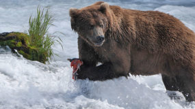 <em>Wild Alaska Live,</em> a PBS and BBC Co-Production, Captures Life and Survival in the Alaskan Wilderness in Three-Part, Not-to-Be-Missed Television Event